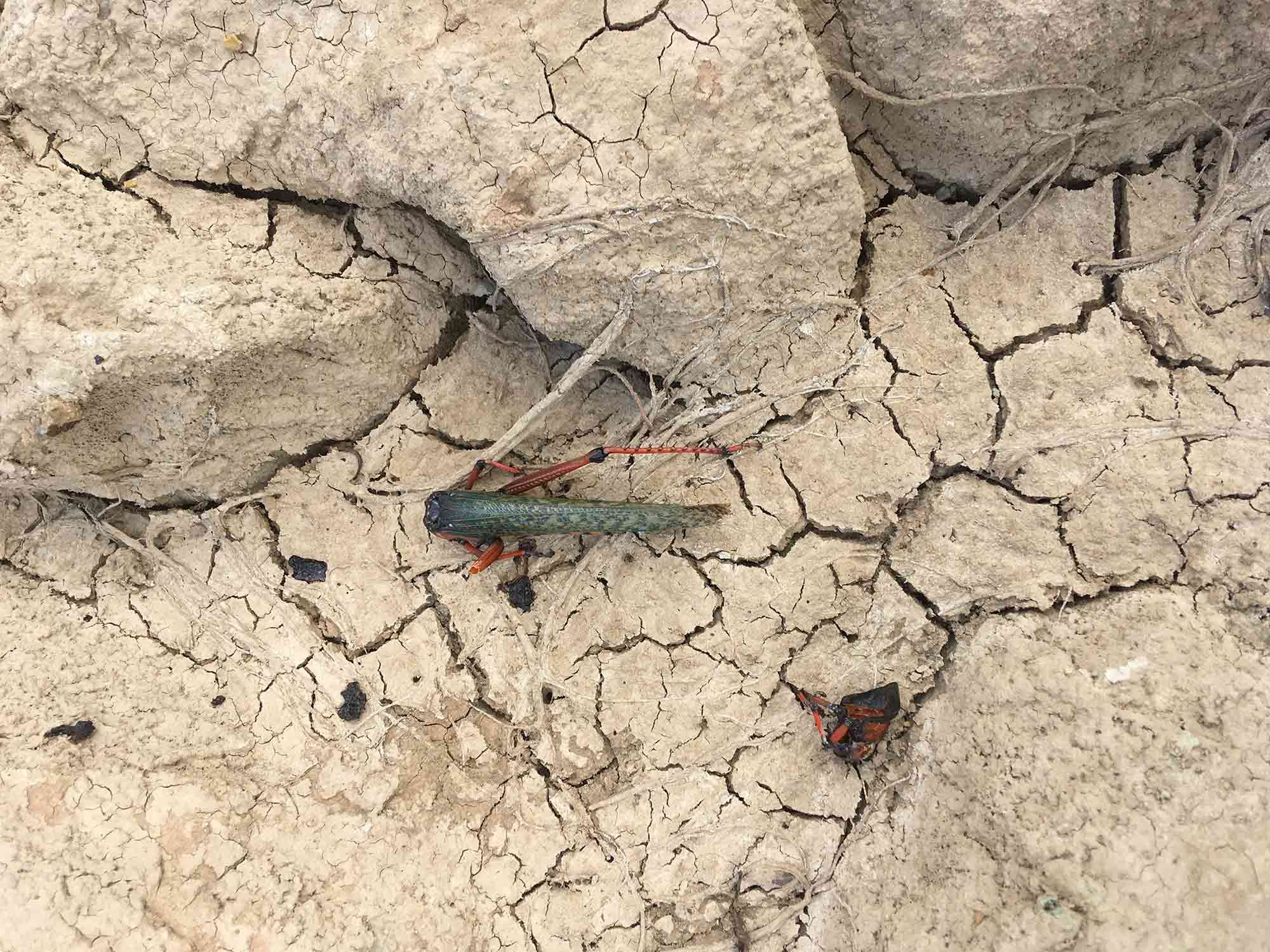 Decapitated River / Cerrejon coal mine in Colombia has diverted the River Bruno. In this international delegation to visit the works, we found the new river bed dead, as is this grasshopper on the same path (diana.salazar@ucl.ac.uk)